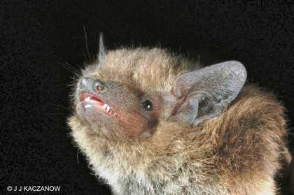 bat nathusius pipistrelle www