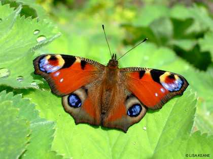 20 Pictures of peacock butterflies
